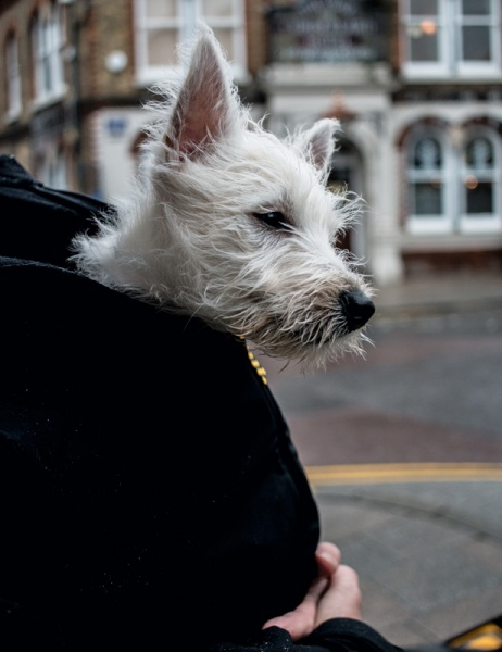 Dog About Town
